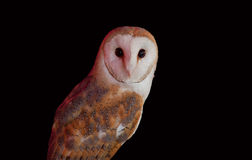 Barn owl perched Royalty Free Stock Photography