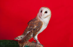 Barn owl perched Stock Photography