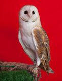 Barn owl perched Royalty Free Stock Photo