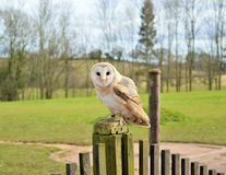 Barn owl perched on a post Royalty Free Stock Images