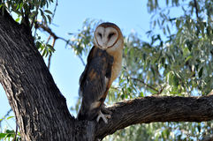 Barn owl perched in tree Royalty Free Stock Photos