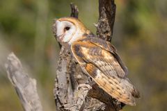 Barn Owl Perched on Tree Royalty Free Stock Images