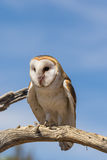 Barn Owl Perched on Tree Branch Royalty Free Stock Photography