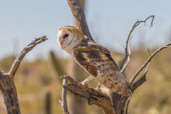 Barn Owl Perched Stock Image