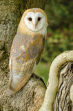 Barn Owl. Perched in tree looking directly into camera Stock Images
