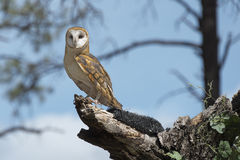 Barn Owl. Perched On A Tree Stump Stock Images