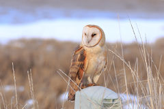 Barn Owl. Perched under sunset light stock image