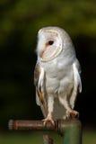 Barn Owl Royalty Free Stock Photography