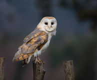 A Barn Owl perches on a fence post Royalty Free Stock Image