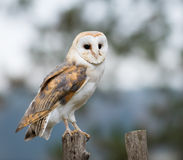 A Barn Owl perches on a fence post Stock Photography