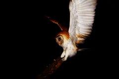 Barn Owl 2 Royalty Free Stock Photo