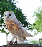 Barn owl. A photo of a white and tan barn owl perched on a branch Royalty Free Stock Photo