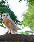 A Barn owl. A photo of a white and tan barn owl perched on a branch looking sideways Stock Image
