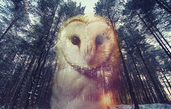 Barn owl and Pine Forest at sunset Stock Images