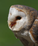 Barn Owl portrait Stock Photo