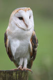 Barn Owl Portrait. Portait of a Barn Owl Royalty Free Stock Photography