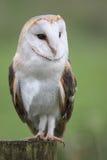 Barn Owl Portrait Royalty Free Stock Photography