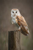Barn Owl Portrait. A Barn Owl perches on a fence post as it hunts in the fens Stock Photography