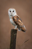 Barn Owl Portrait stock image
