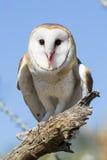 Barn owl portrait. Portrait of a barn owl Stock Photo