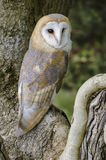 Barn owl portrait. Portrait of beautiful barn owl perched in tree Royalty Free Stock Photo