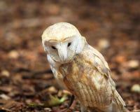 Barn owl portrait. Captive barn owl at the World Bird Sanctuary in St. Louis, Missouri Royalty Free Stock Image