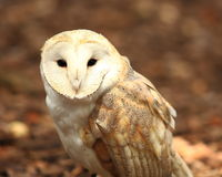 Barn owl portrait. Captive barn owl at the World Bird Sanctuary in St. Louis, Missouri Royalty Free Stock Photography