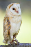 Barn Owl Portrait Royalty Free Stock Image