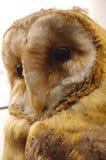 Barn owl portrait taxidermy Royalty Free Stock Photo