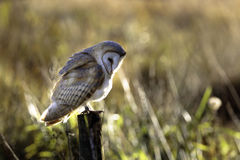 Barn Owl Posing Royalty Free Stock Images