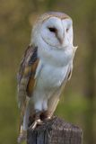 Barn Owl On Post Stock Photos