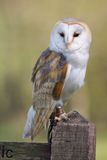 Barn Owl On Post Stock Images