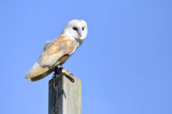 Barn owl on post Stock Photo