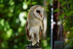 Barn owl on a post. Captive bred barn owl, located in a facility in Spain.  this facility does a lot for conservation and was responsible for the re introduction Royalty Free Stock Images