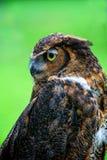 Barn Owl Profile Royalty Free Stock Photos