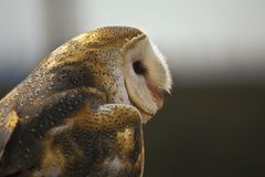Barn Owl in profile Royalty Free Stock Photo