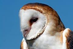 Barn owl profile. Barn owl close-up against a clear blue sky Stock Image