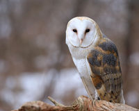 Free Barn Owl Profile Royalty Free Stock Photo - 91127275