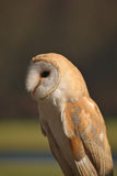 Barn owl profile Royalty Free Stock Image