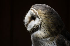 Barn Owl Profile Portrait Royalty Free Stock Photos