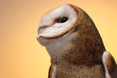 Barn Owl in Profile Royalty Free Stock Image