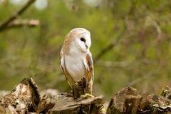 Barn Owl at Rest on a Tree Stump Stock Photo