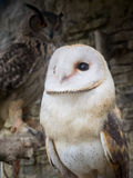 Barn owl's portrait. Yufuin FUKUOKA, JAPAN - Apr 10 ,2015 : barn owl's portrait at owl's forest zoo. A natural landmark located at the end of the town Stock Photos