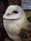 Barn owl's portrait. Yufuin FUKUOKA, JAPAN - Apr 10 ,2015 : barn owl's portrait at owl's forest zoo. A natural landmark located at the end of the town Royalty Free Stock Photography