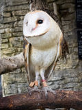Barn owl's portrait Royalty Free Stock Photography