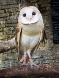 Barn owl's portrait Stock Image