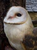 Barn owl's portrait Royalty Free Stock Photography