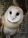 Barn owl's portrait Stock Photos