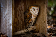 Barn owl in a shelter. Barn owl rooting in a shelter, at a bird sanctuary Royalty Free Stock Photos