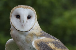 Barn Owl. This shot reveals the strange face of this beautiful Barn Owl Stock Photography